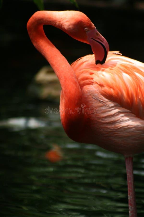 flamboyant photos stock