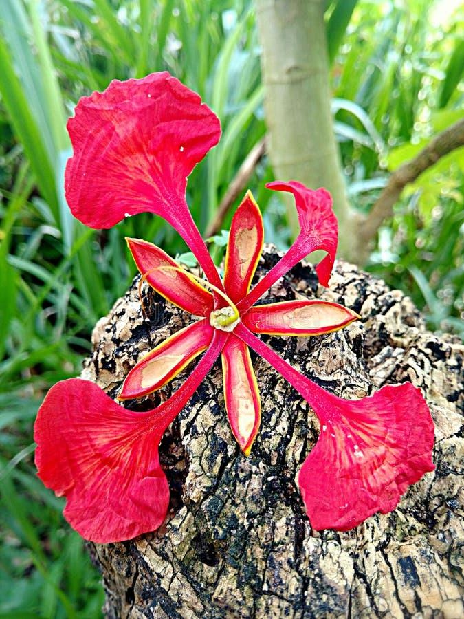 Flamboyant bloem royalty-vrije stock fotografie