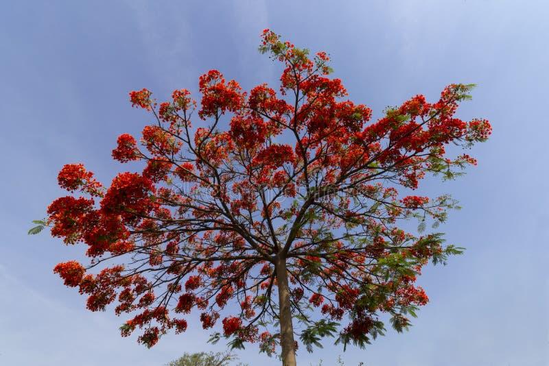 Flamboyant couronné avec les fleurs rouges, au-dessus du ciel bleu image libre de droits