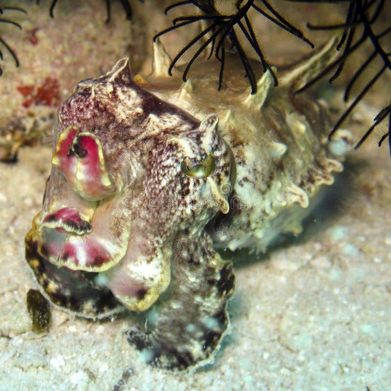 Flamboyant Cuttlefish. A beautiful Flamboyant Cuttlefish on the sea bottom royalty free stock images