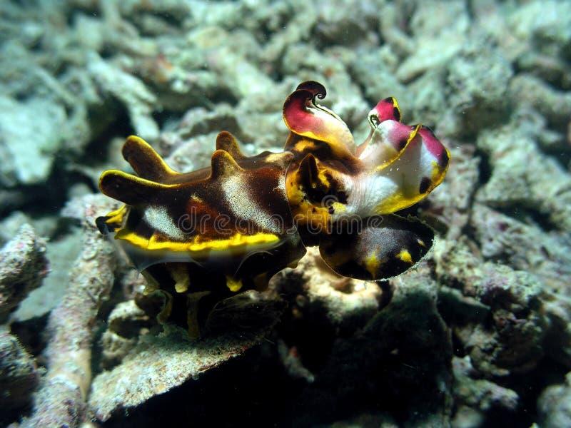 Flamboyant cuttlefish royalty free stock photography