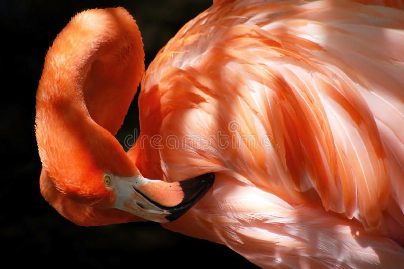 elegant preening flamingo royalty free stock photography