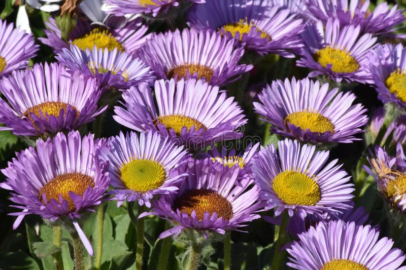 Purple Flamboyant Razzmatazz Flowers of the Seaside Flea Bane! - Erigeron on Anglesey Coastal Path -. Purple Flamboyant Flowers of Seaside Flea Bane - Erigeron royalty free stock images