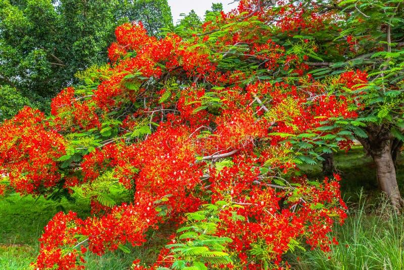 Flamboyant kungligt Poinciana DelonixRegia träd fotografering för bildbyråer