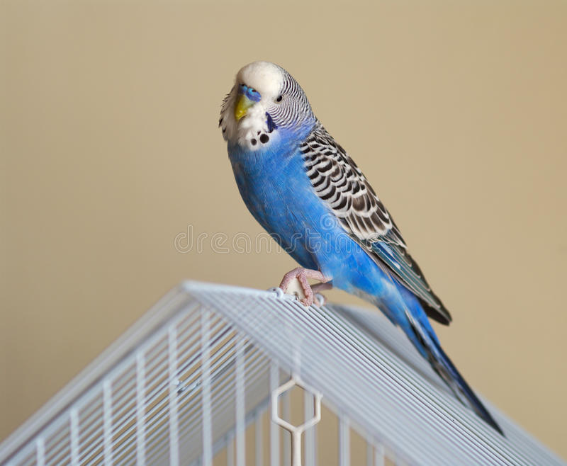 Flamboyant parrot Melopsittacus undulatus stock photography