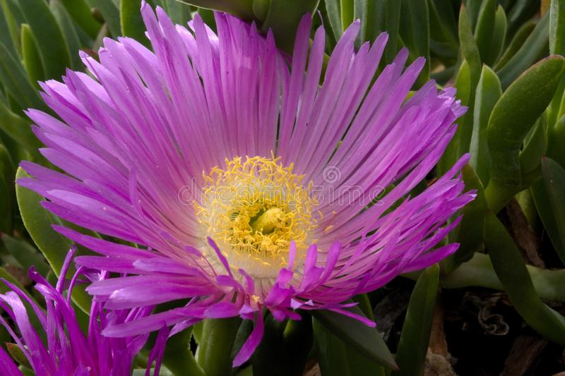 Flamboyant Purple Flower head of the Hottentot Fig on Anglesey Coastal Path stock images
