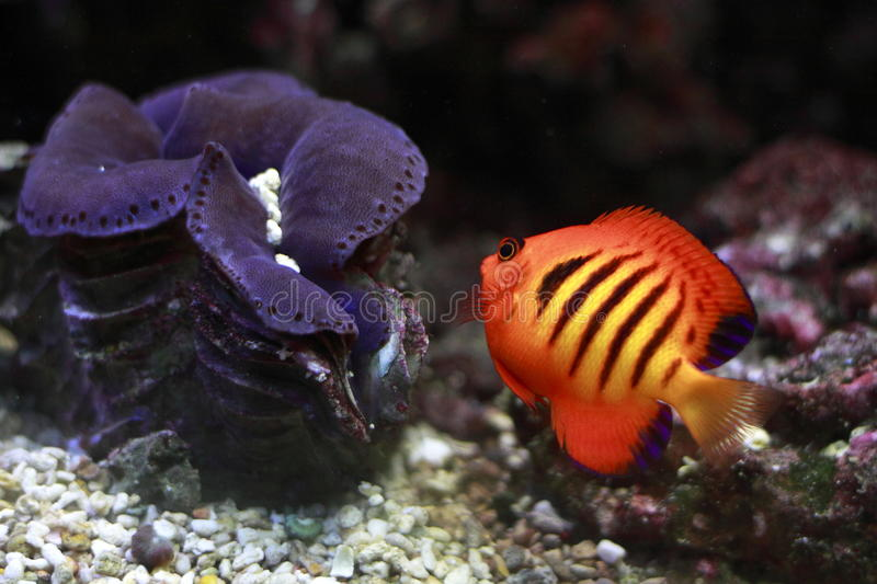 Flame angelfish royalty free stock photography