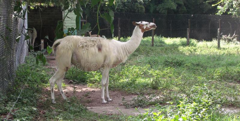 The llama. Large South American animal in the coffee region in Colombia in conditions of captivity royalty free stock photography
