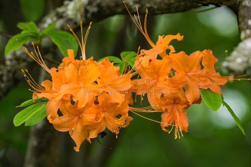 Close-up View of Flame Azalea Flowers – Rhododendron calendulaceum. Flame Azalea is an Appalachian deciduous shrub with flowers in red, orange, yellow royalty free stock photo