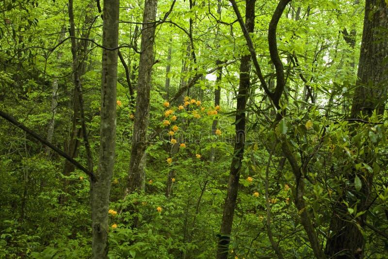 Flame Azalea, Pisgah Nat. Forest. Flame Azalea, Pisgah National Forest, Western NC royalty free stock images