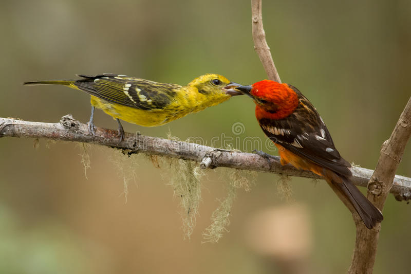 Flame-colored Tanager stock photography