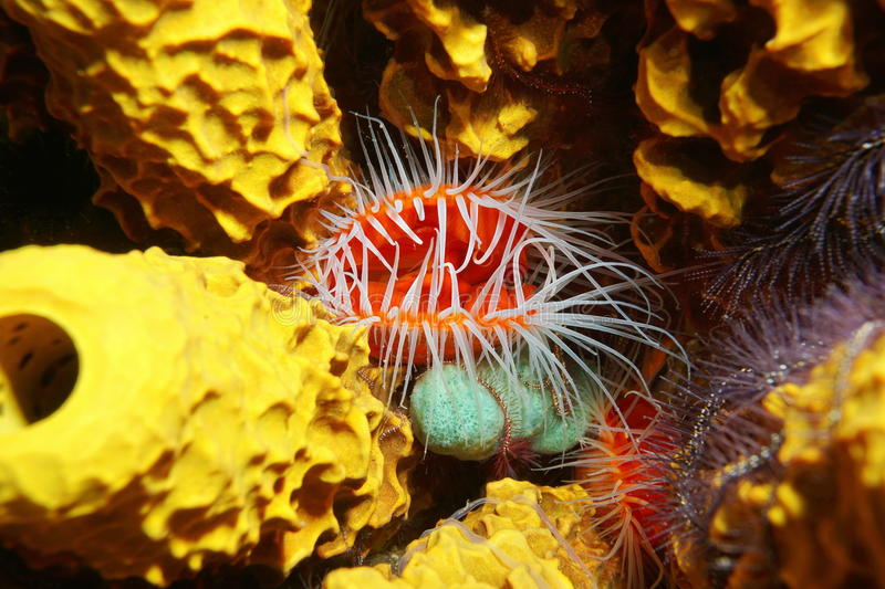 Flame scallop Ctenoides scaber underwater sea. Underwater creature, close up image of Flame scallop, Ctenoides scaber, surrounded by tube sponge, Caribbean sea stock photos