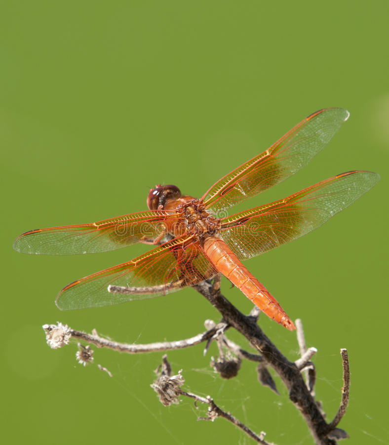 Free Flame Skimmer Libellula Saturata Dragon Fly Over Water Stock Image - 99084421