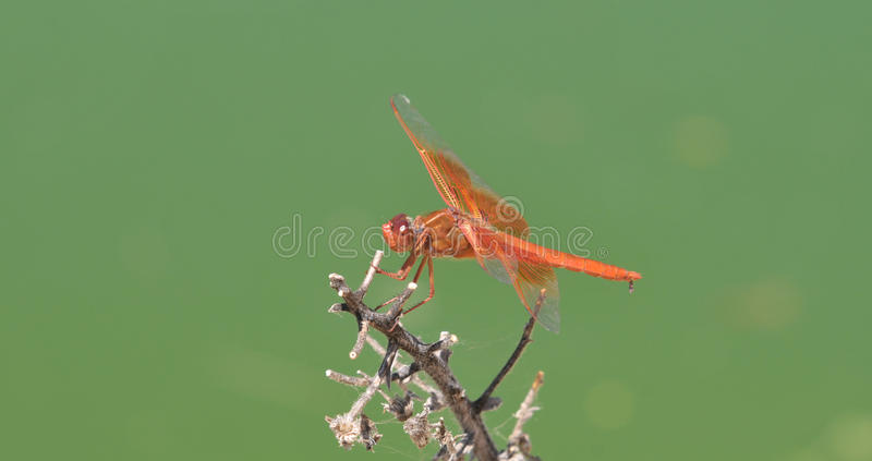 Download Flame Skimmer Libellula Saturata Dragon Fly Over Water Stock Image - Image of firecracker, sitting: 99083967