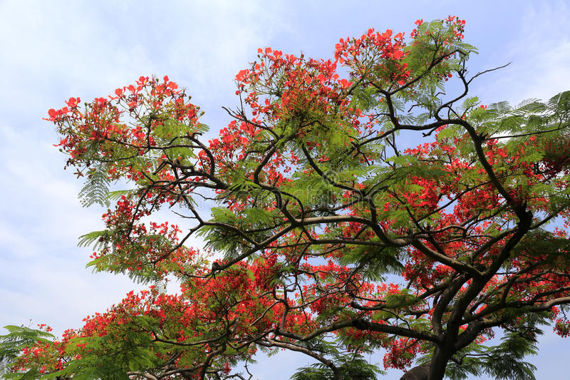 Flame tree (delonix) stock image