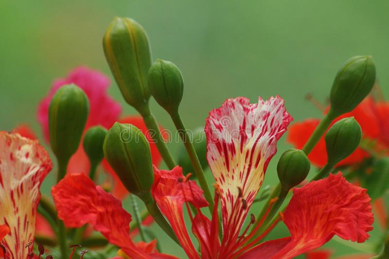 Flame Tree flower up close. The flame tree flower up close and personal stock photo