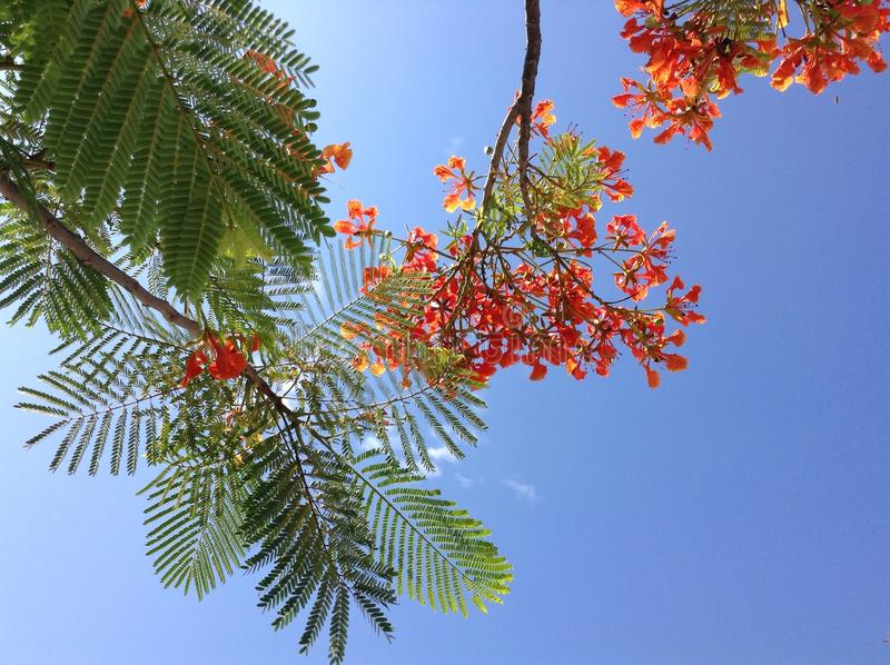Flame tree royalty free stock images