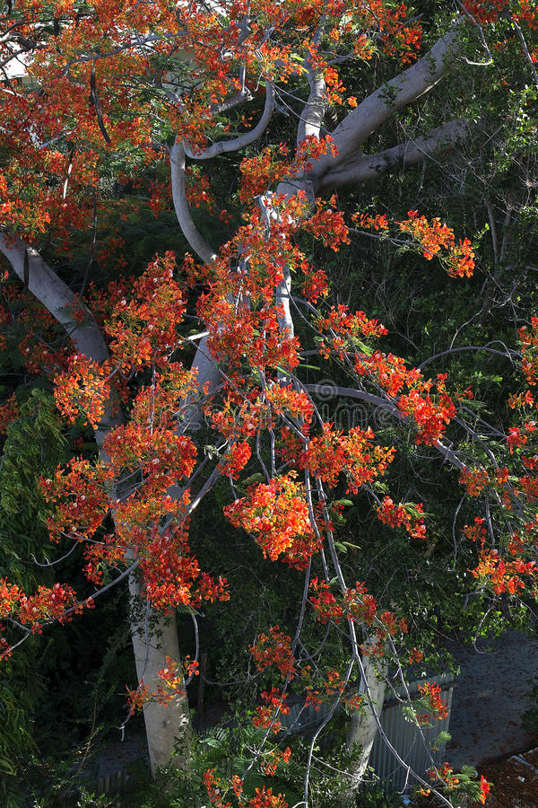 The Flame Tree. the tree of auspicious. royalty free stock photo