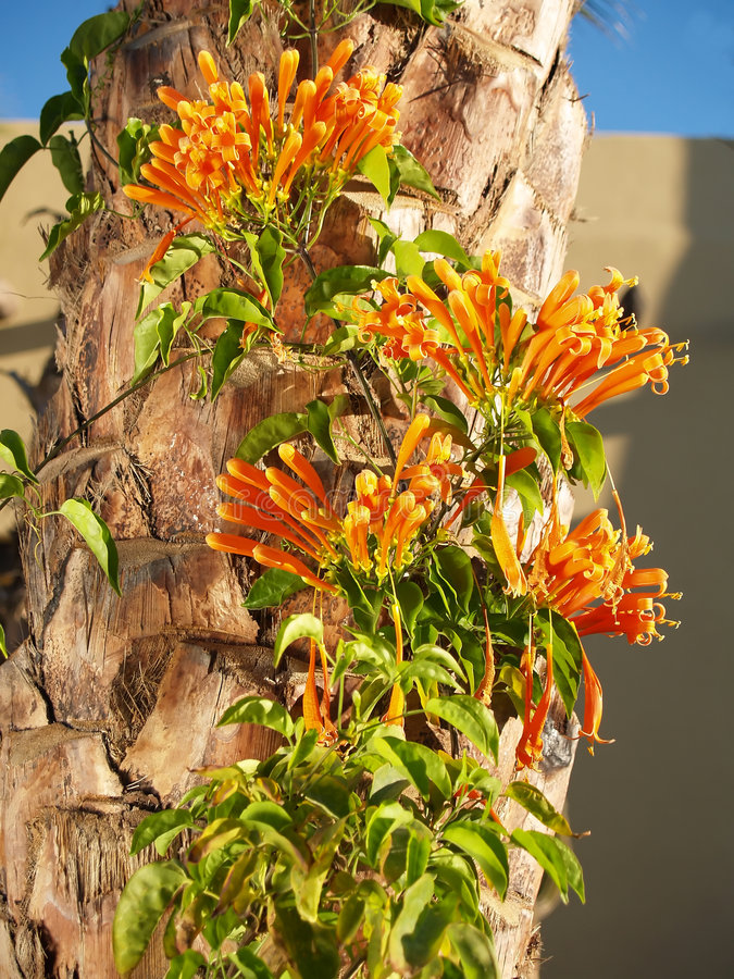 Flame vine on Palm tree royalty free stock photography
