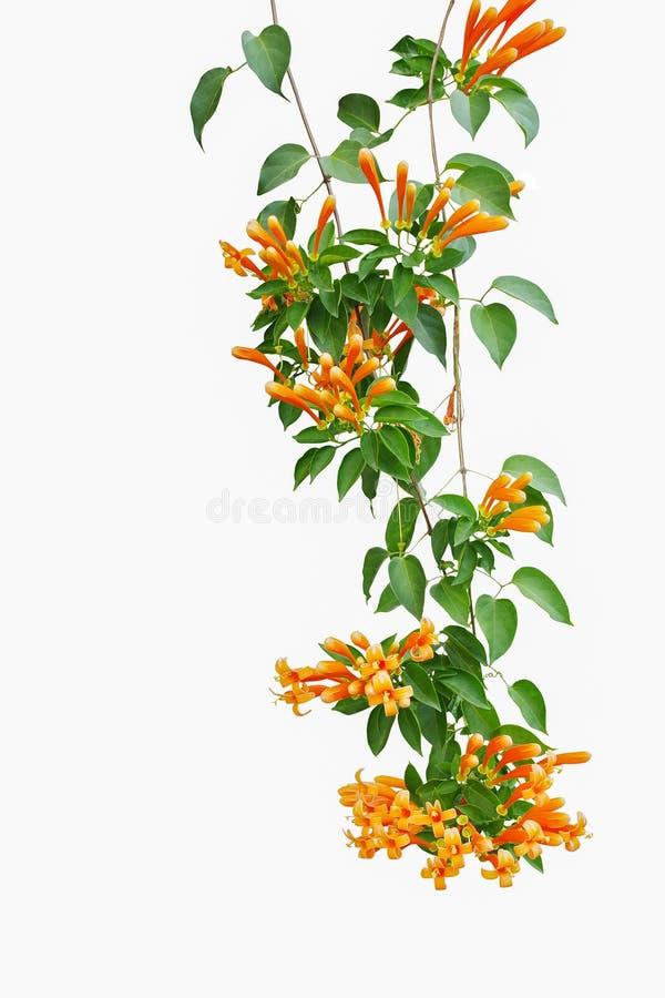 Flame vine Pyrostegia venusta or orange trumpet vine with gree royalty free stock photo