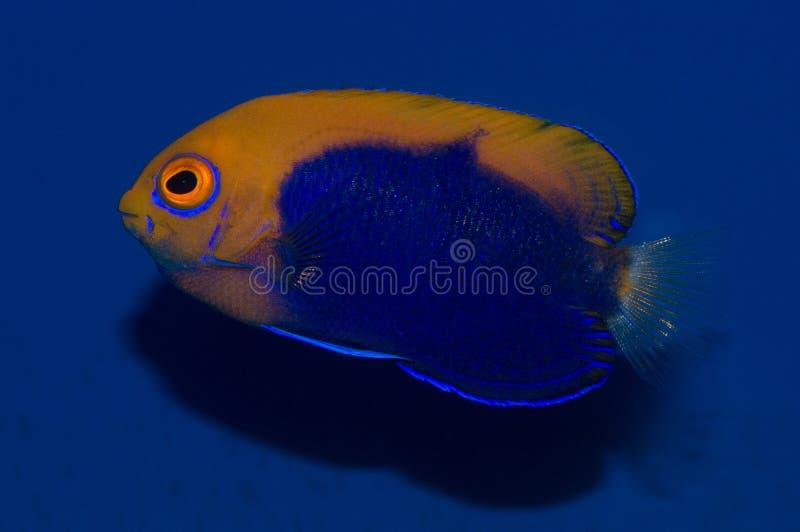 Flameback Angelfish στοκ φωτογραφία με δικαίωμα ελεύθερης χρήσης
