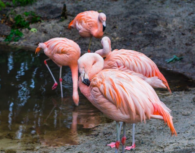 Flamenco chileno rosado en primer con su familia de pájaro en los pájaros del fondo, tropicales y coloridos de América imagenes de archivo