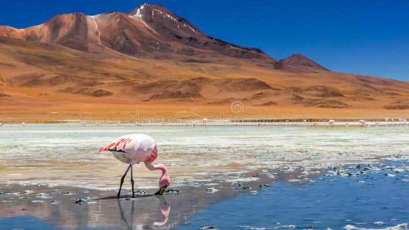 Flamenco en un lago fotos de archivo
