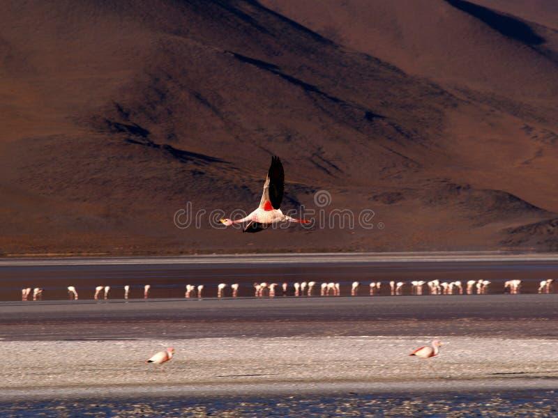 Flamenco en vuelo imagenes de archivo