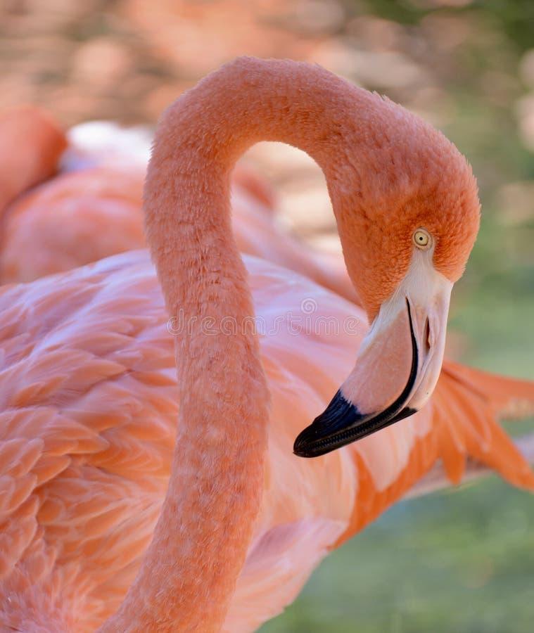 Flamenco hermoso en San Diego Zoo foto de archivo