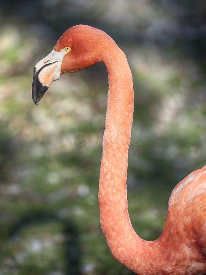 Flamenco long neck. Phoenicopterus ruber, Caribbean Flamingo or Red Flamingo royalty free stock image
