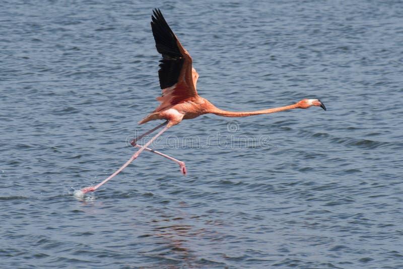 Flamenco que corre en el agua fotografía de archivo libre de regalías