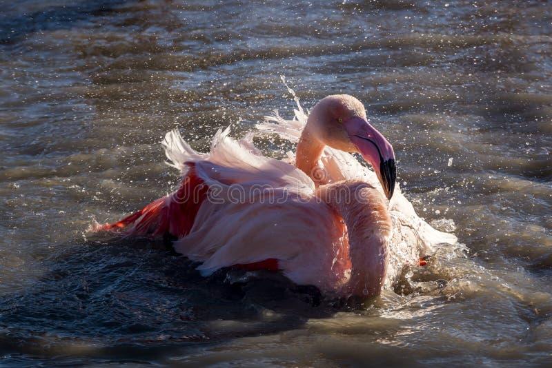 Flamenco que toma un baño en la puesta del sol en el Camargue, Francia imágenes de archivo libres de regalías