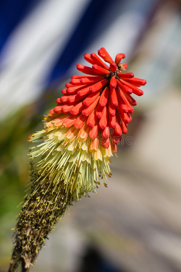 Flamenco Red Hot Poker stock photography