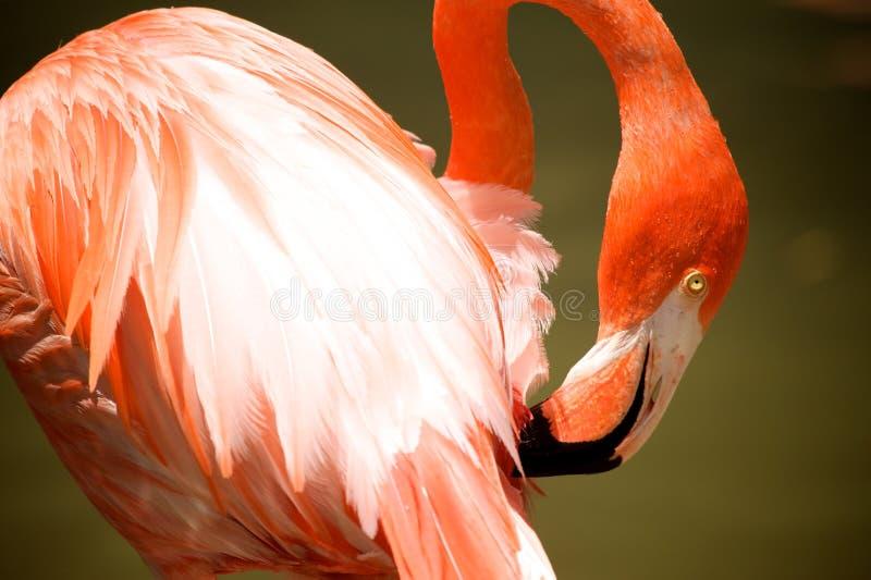 Flamenco rosado fotografía de archivo