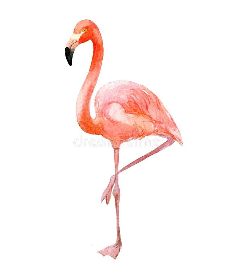 Flamenco rosado, aislado en blanco, ejemplo de la acuarela stock de ilustración