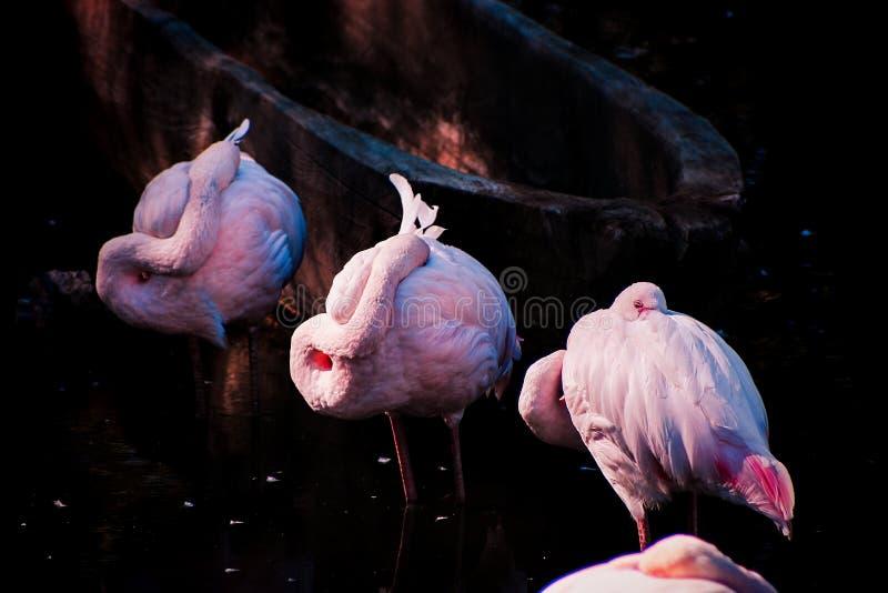 Flamenco rosado el dormir en un río fotografía de archivo