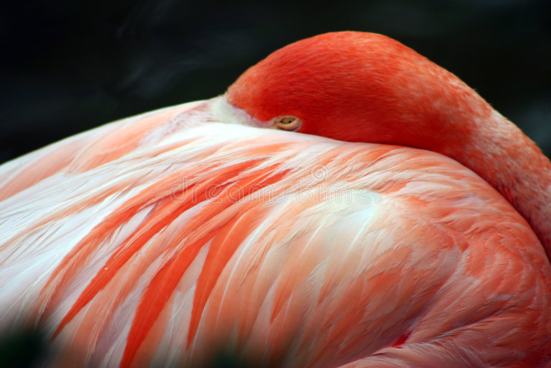 Flamenco rosado en el mundo del mar, Orlando, la Florida imagen de archivo libre de regalías