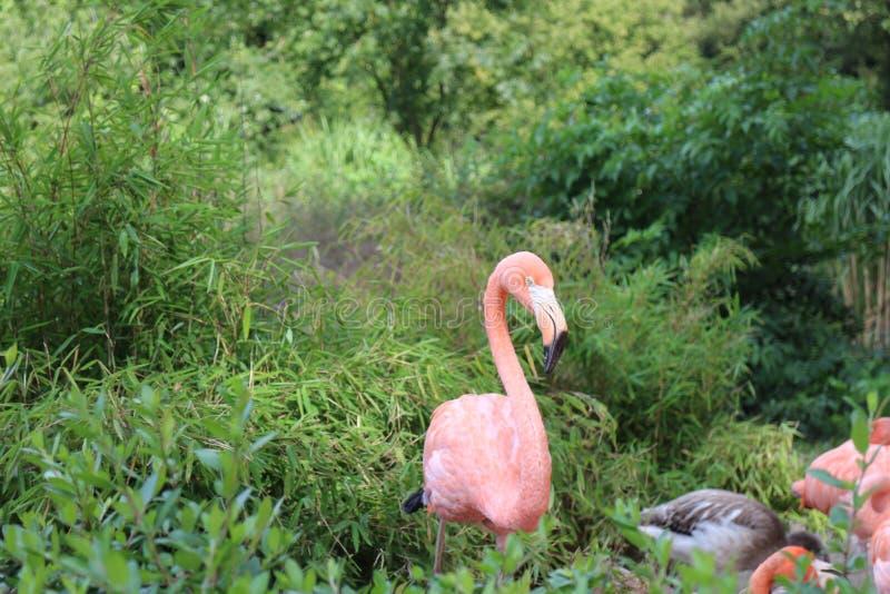 Flamenco rosado en parque zoológico fotografía de archivo libre de regalías