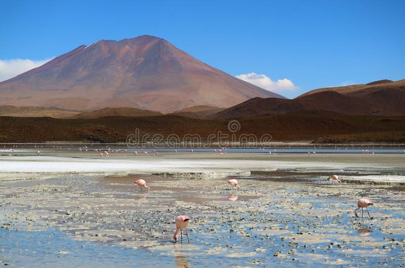 Flamenco rosado no numerable en Laguna Hedionda, el lago salino en Altiplano andino, Potosi, Bolivia, Suramérica imagen de archivo libre de regalías