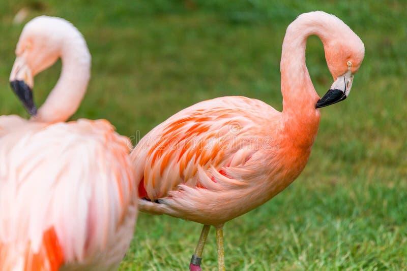 Flamenco rosado que duerme con la pierna para arriba fotos de archivo