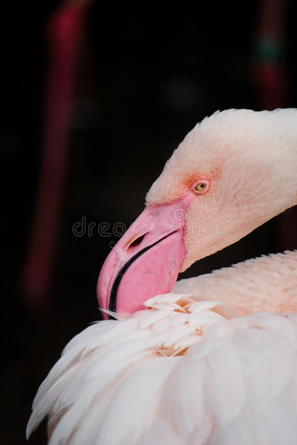 Flamenco rosado (ruber del ruber de Phoenicopterus) imágenes de archivo libres de regalías