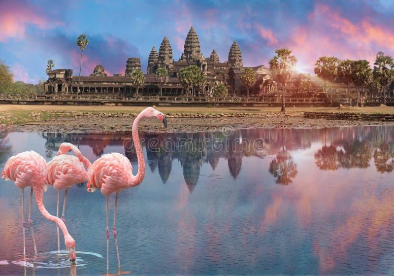Flamenco rosado tres en la puesta del sol en el lago antes de Angkor Wat en Siem Reap, Camboya imagen de archivo libre de regalías