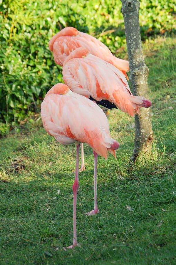 Flamenco rosado tres Pinck del parque natural de los pájaros fotos de archivo