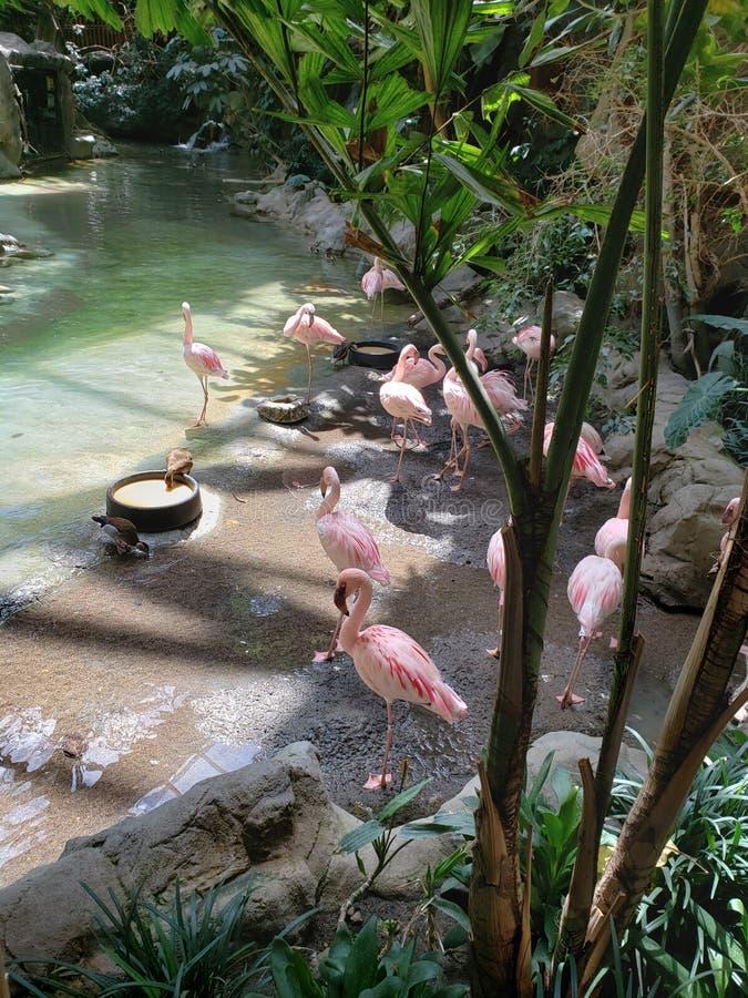 Flamencos bonitos en el parque zoológico imágenes de archivo libres de regalías