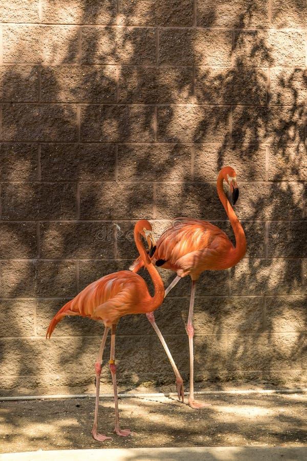 Flamencos del duelo en rosa imagen de archivo