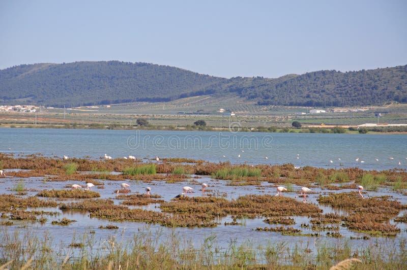 Flamencos en el lago, Fuente del Piedra. fotos de archivo