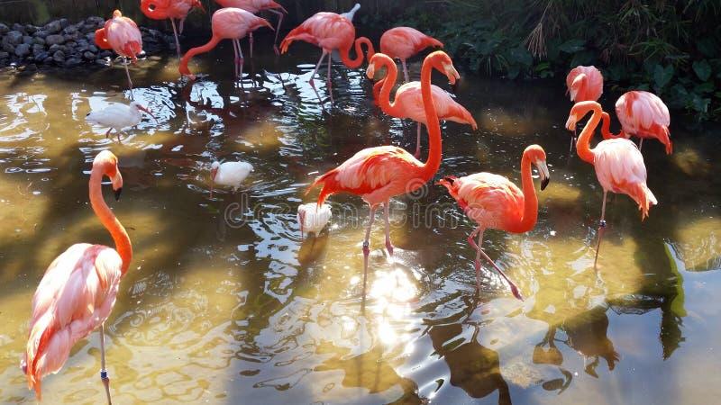 Flamencos en la Florida imágenes de archivo libres de regalías