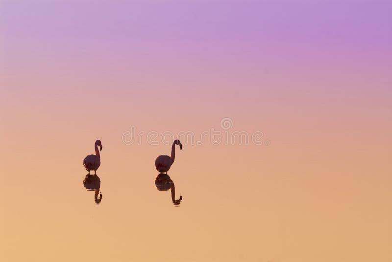 Flamencos en la puesta del sol La Pampa foto de archivo