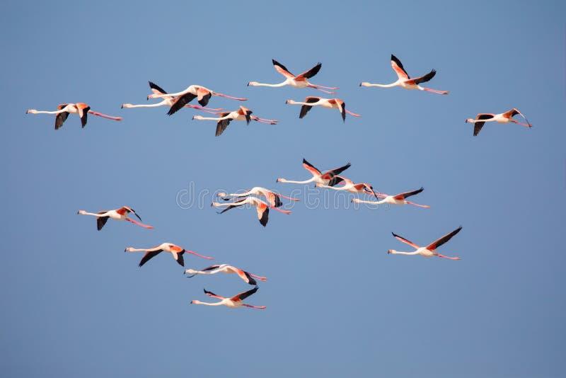 Flamencos en la reserva de naturaleza costera de De Mond, Suráfrica foto de archivo