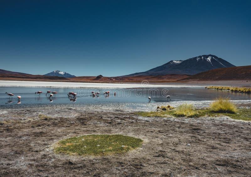Flamencos en Laguna Canapa Altiplano Bolivia Salar de Uyuni fotografía de archivo